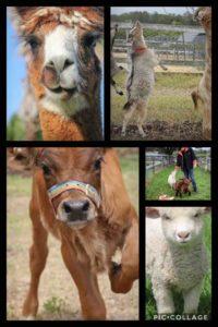 Farm-Animal-Trivia