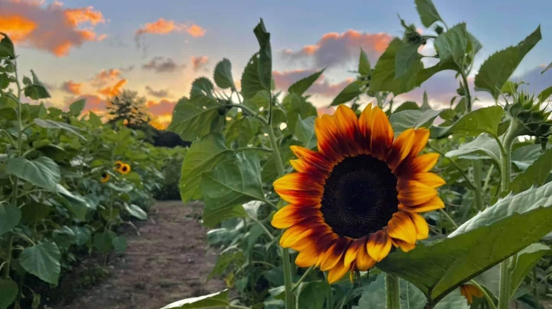 "Picking ""Sunflowers"""